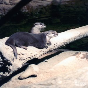 Two Otters Looking Forward