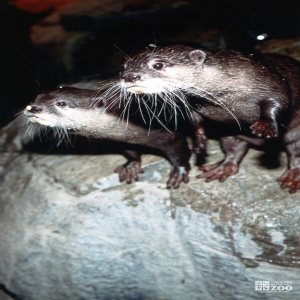 Otters Looking Forward