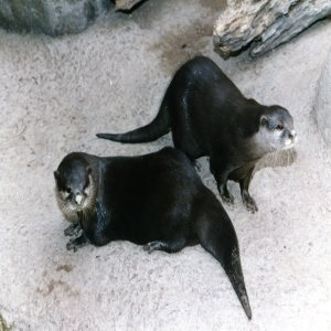 Otters Looking To The Right