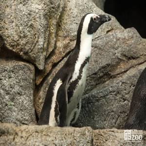 African Penguin Close-up