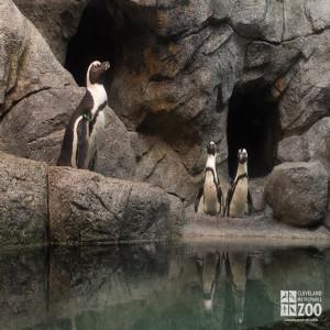African Penguins, 3 in the Exhibit