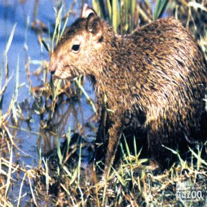 Agouti Standing In Grass