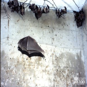 Egyptian Fruit Bats With One In Flight