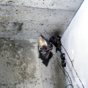 Egyptian Fruit Bats With One Starting To Fly