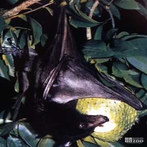 Rodrigues Flying Fox Bat Hanging In A Tree Holding Fruit