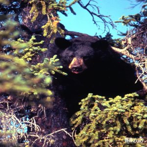 North American Black Bear In A Pine Tree
