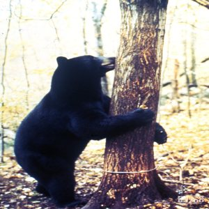 North American Black Bear Hugging A Tree