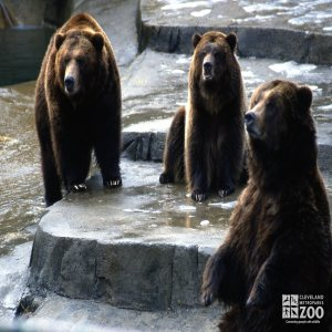 3 Grizzly Bears Sitting On The Rocks