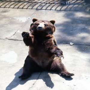 Grizzly Bear Sitting Up Waving