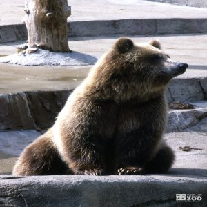Grizzly Bear Sitting and Looking Left