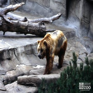 Grizzly Bear Walking Forward