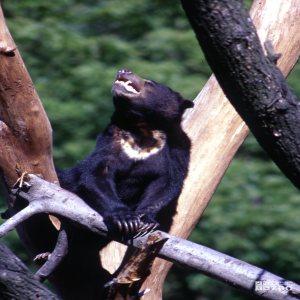 Malayan Sun Bear Standing In Tree Looking Up
