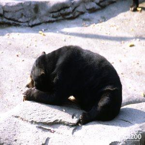 Malayan Sun Bear Resting In The Sun