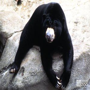 Malayan Sun Bear Laying On Rock Facing Forward