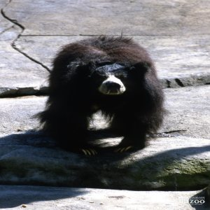 Sloth Bear Looking Forward On Rock