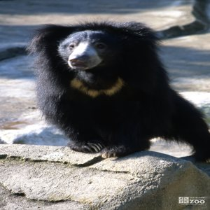 Sloth Bear Standing On Rock