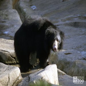Sloth Bear Side Profile