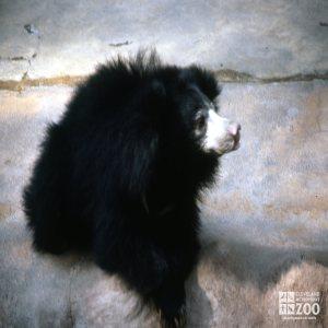 Sloth Bear Side Profile Up Close