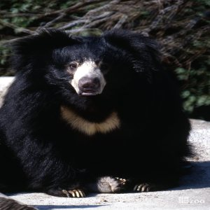 Sloth Bear Sitting Facing Forward
