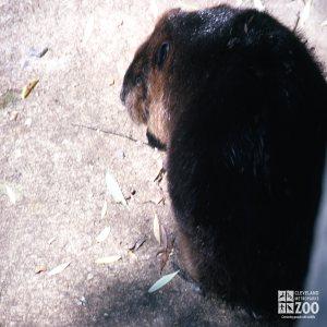 Beaver In Side Profile