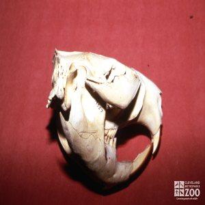 Beaver Skull - Side View