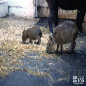 Two Capybara Babies