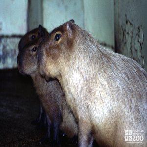 Three Capybaras In Side Profile