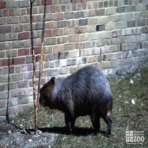Capybara Eating Bark Off Tree