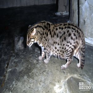Fishing Cat Crouching