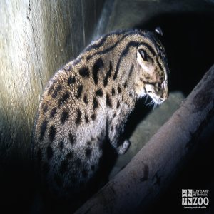 Fishing Cat Side View