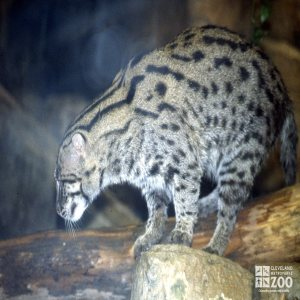 Fishing Cat on Rock