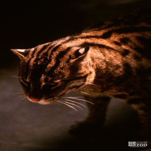 Fishing Cat in Shadow