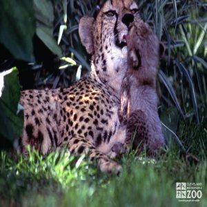 Cheetah with Cub 2