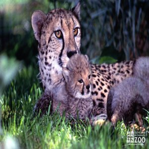 Cheetah with Cub 3
