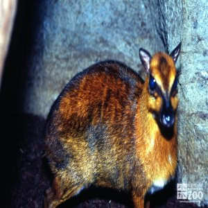 Chevrotain, Greater Malayan Side View 3