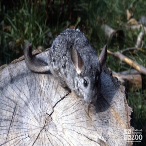 Chinchilla, Long-Tailed on Stump