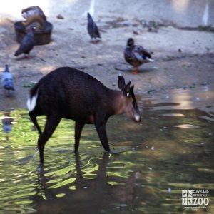 Deer, Tufted in Water