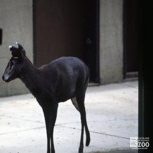 Deer, Tufted Side View 2