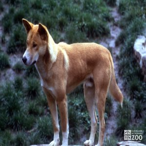 Dingo, Close-up