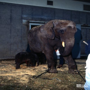Elephant, African with Young Baby 2