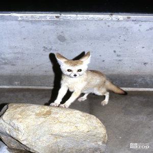 Fox, Fennec
