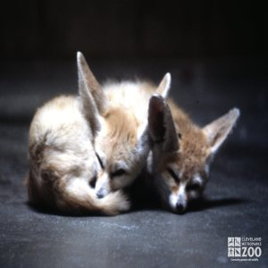 Fox, Fennec Pair