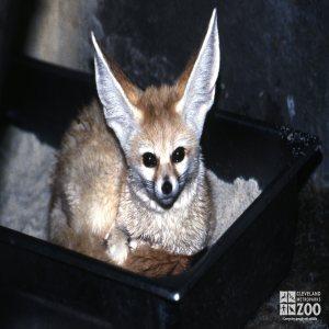 Fox, Fennec Close-up