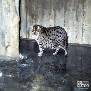 Fishing Cat Side Profile Looking Forward