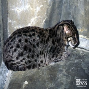 Fishing Cat Sleeping From Side View