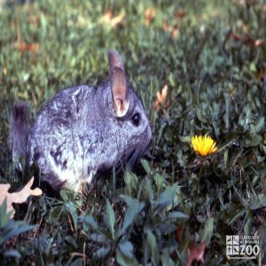 Chinchilla, Long-Tailed Sitting In Grass