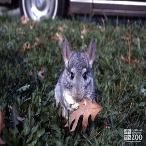 Chinchilla, Long-Tailed Eating Leaf