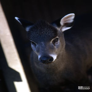 Deer, Tufted Up Close Of Face