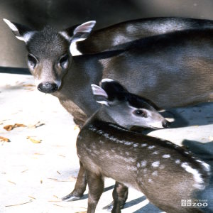 Deer, Tufted Mom and Fawn
