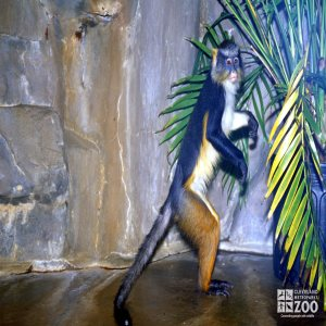 Wolf's Guenon Standing On Hind Legs